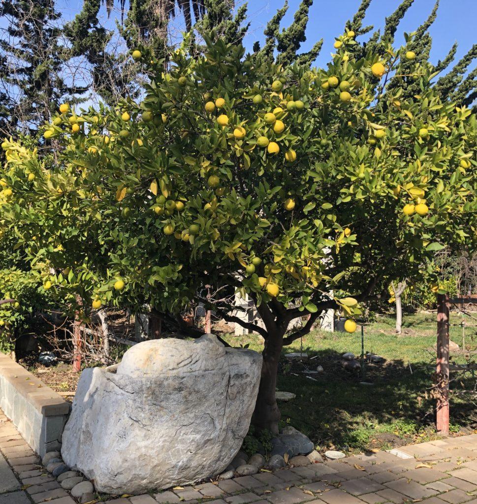 カリフォルニアレモンの木