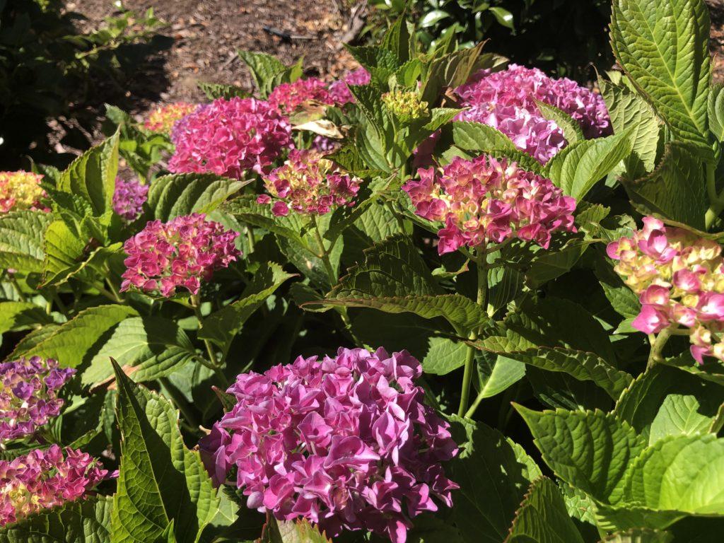 アメリカの紫陽花