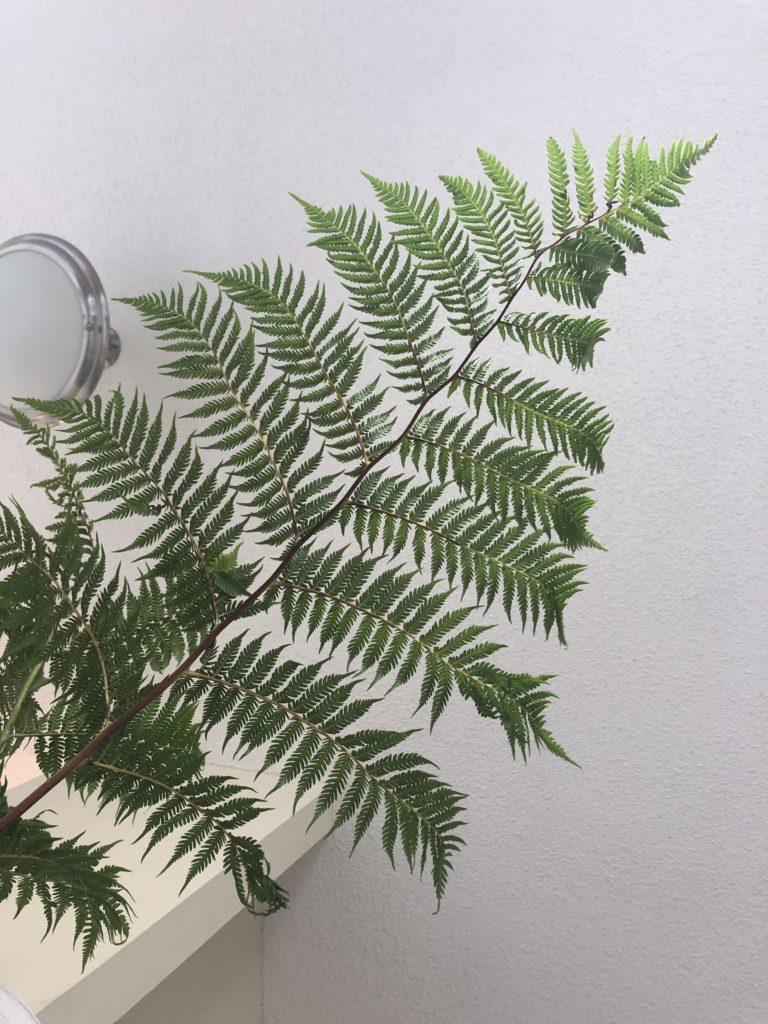 Cyathea cooperi、シダ植物
