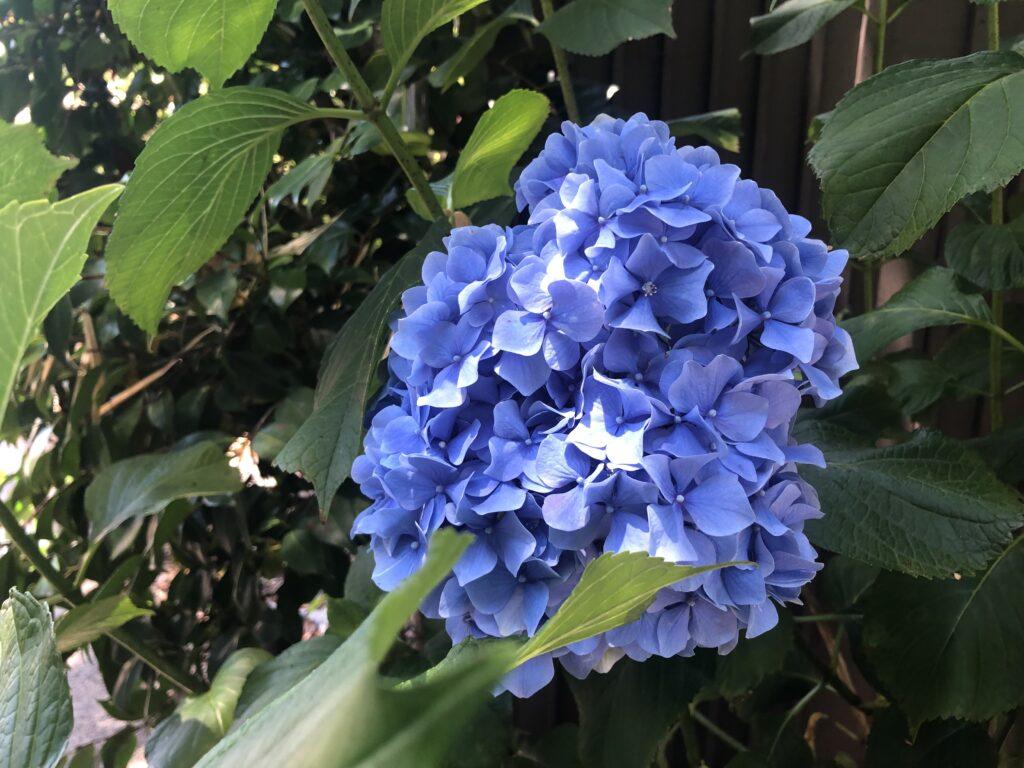 カリフォルニア、紫陽花、アジサイ