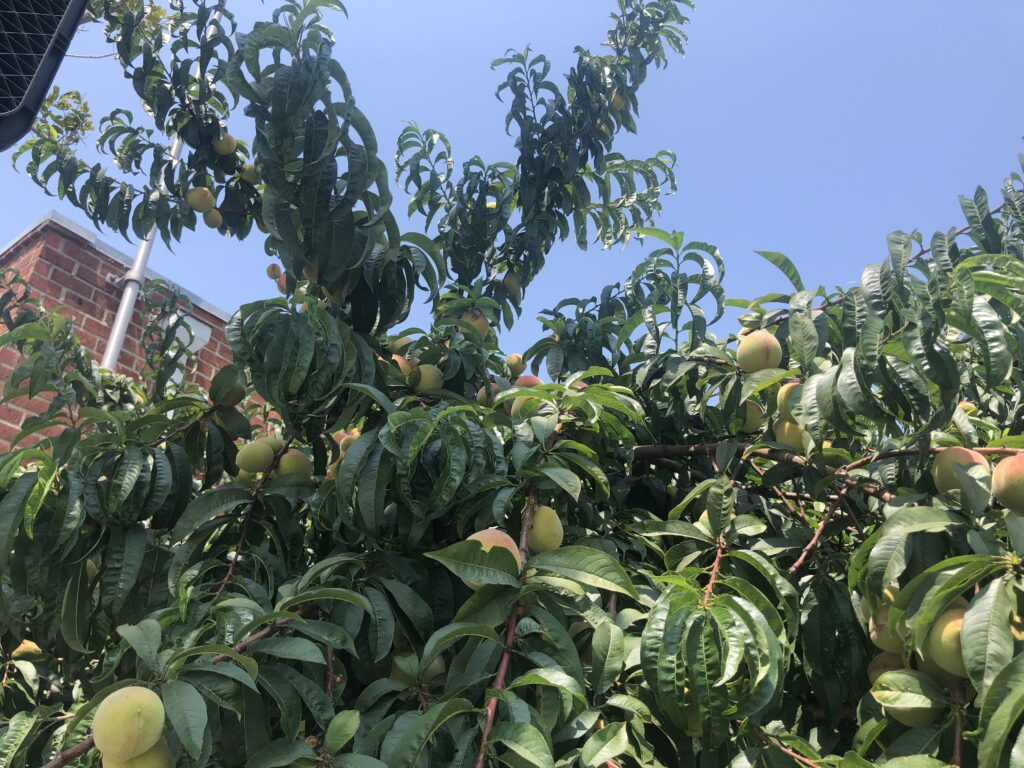 カリフォルニア、桃の木