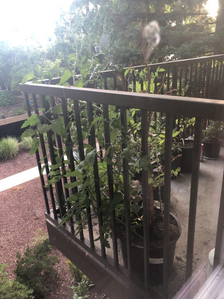 家庭菜園、バルコニー菜園、プランター栽培、トマト、アメリカ、カリフォルニア